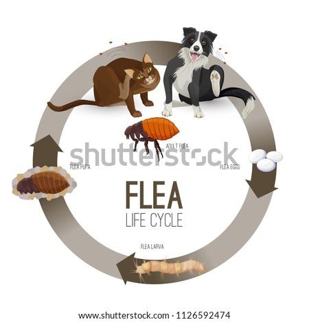 Flea life cycle circle with headlines vector illustration
