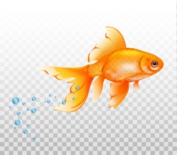 Floating goldfish underwater. Goldfish with air bubble. Realistic illustration on transparent background.
