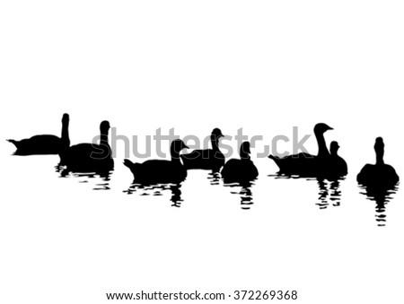 flock of ducks floating on