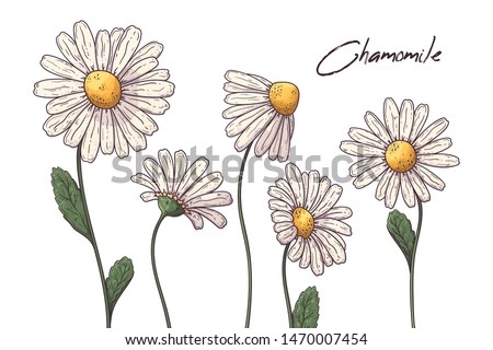 Floral botany illustrations. Vector sketches chamomile flowers. Isolated objects for your design. Each object can be changed and moved.