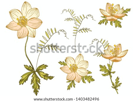 Floral vector elements for design isolated on white background. Botanical illustration. Hand drawn sketch, doodle. Anemone nemorosa.Vicia cracca.