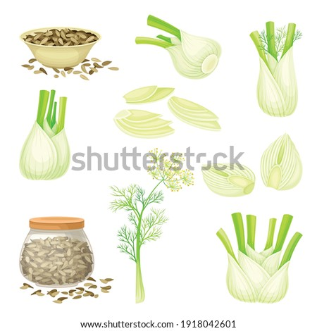 Florence Fennel or Finocchio with Swollen, Bulb-like Stem and Small Fruits Vector Set Foto stock ©