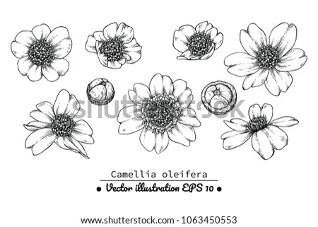 Free Hand Drawn Camellia Flower Vectors Download Free Vector Art