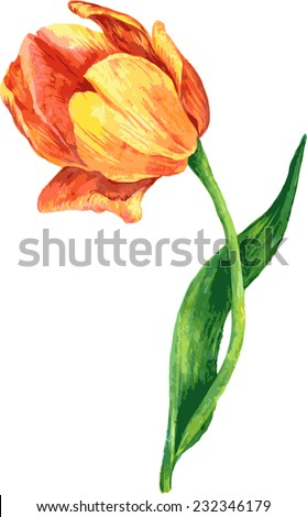 flower of red tulip drawing by