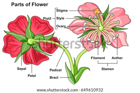 Flower Parts Diagram front and back view with all parts labeled useful for school education and botany biology science