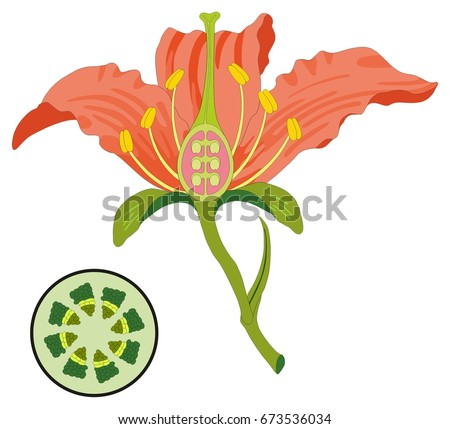Flower Parts Diagram with stem cross section anatomy of plant morphology and its contents useful for school student stamen pistil petal sepal leaf receptacle root botany science education