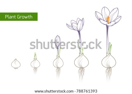 Plant growth evolution free vector download free vector art stock flower plant growth concept vector design illustration crocus germination from corm bulb to sprouts to mightylinksfo