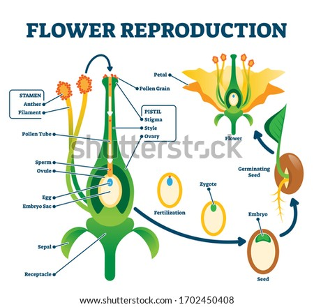 Flower reproduction vector illustration. Labeled process of new plants scheme. Educational diagram with stamen and pistil structure and full egg development and fertilization stages from ovule to seed Stock photo ©