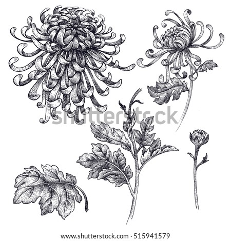 Flowers, branches, leaves Japanese chrysanthemum isolated on a white background. Vector illustration of vintage engraving style. For decoration clothing, phone cases, wedding design, interior objects