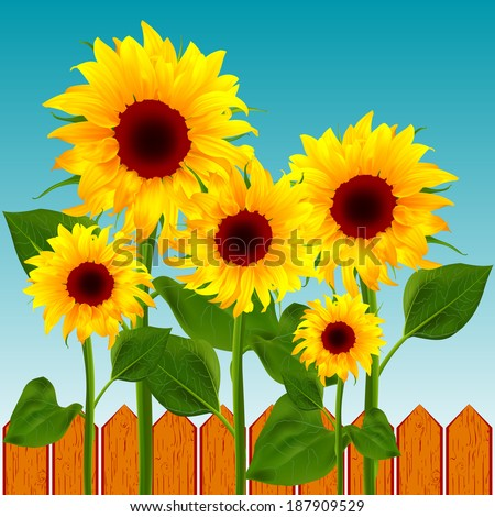 Flowers sunflower on the background of the wooden fence vector illustration of summer