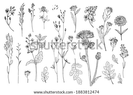 Flowers vector line drawing. Field herbs and flowers