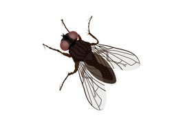 Fly, housefly (Musca domestica), Top down view, Vector illustration isolated on white background