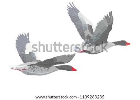 Flying bird. Greylag Goose. Vector image.