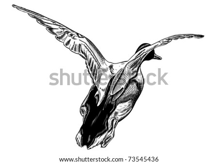 flying duck isolated on the white
