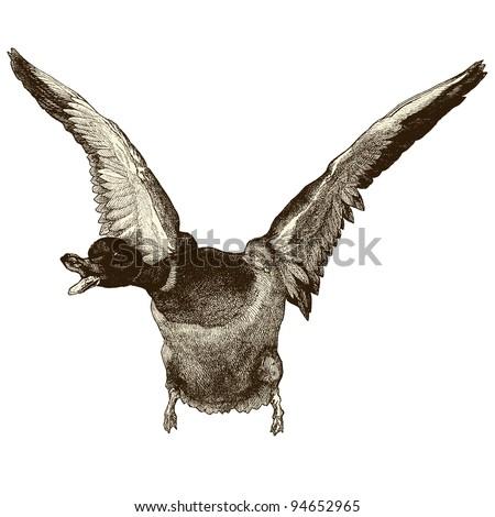 flying duck   vintage engraved
