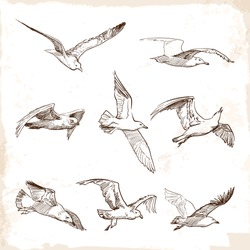Flying seagulls. Set of 8 original wild life drawings representing different phases of a bird flight. EPS10 vector illustration.