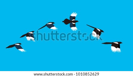 flying sequence of magpie