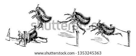 Four fleas competing in a hurdle to race the flea in first place is crawling under a hurdle and grabbing a flag vintage line drawing or engraving illustration