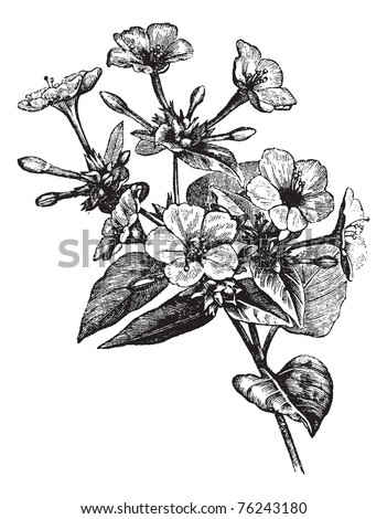 Four o' Clock Flower or Marvel of Peru or Mirabilis jalapa, vintage engraving. Old engraved illustration of a Four o' Clock Flower plant.