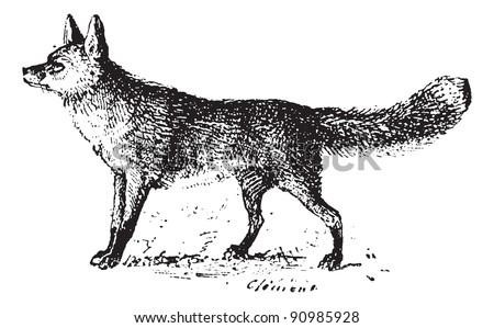 fox  vintage engraved