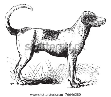 Foxhound or Canis lupus familiaris, vintage engraving. Old engraved illustration of a Foxhound. Trousset encyclopedia.