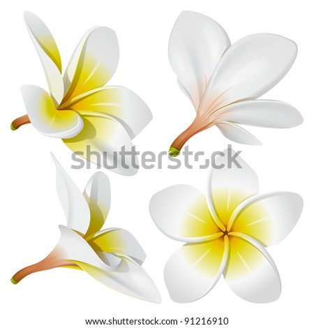 frangipani  plumeria  hawaii
