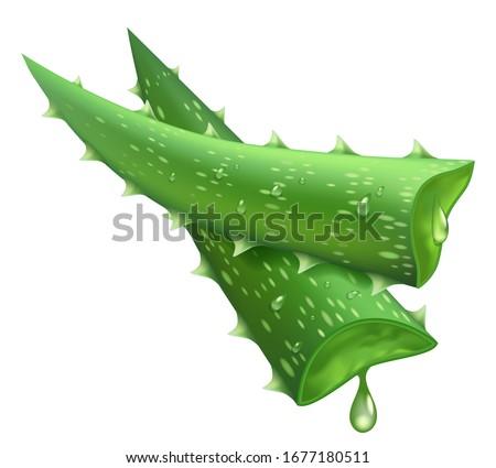 Fresh aloe vera. Realistic green leaves slices, aloe vera juicy drops, medicine plant and natural component isolated vector illustration. Cut slice succulent aloe, nature healthy plant