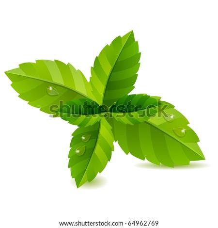 fresh green mint leaves