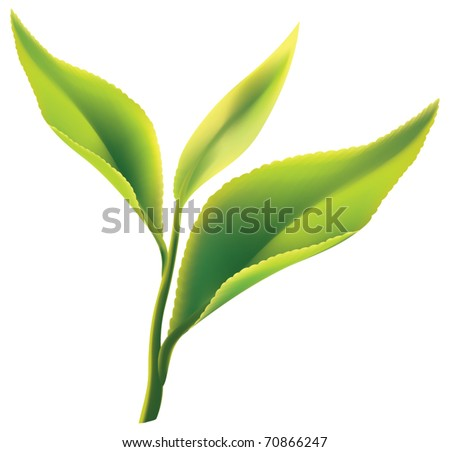 fresh green tea leaf on white
