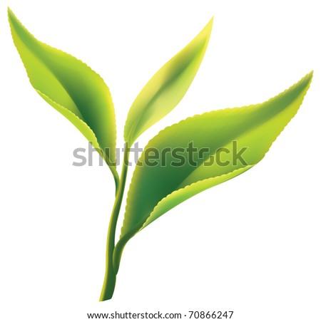 fresh green tea leaf on white