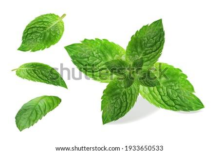Fresh mint leaf. Vector illustration.
