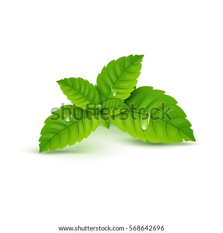Shutterstock Fresh mint leaf. Vector menthol healthy aroma. Herbal nature plant. Spearmint green leafs