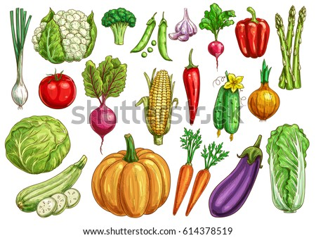 Fresh vegetables sketches. Tomato and carrot, pepper, onion and cabbage, broccoli and cucumber, potato, eggplant, garlic and asparagus, corn and radish, zucchini, cauliflower and pumpkin, beet and pea