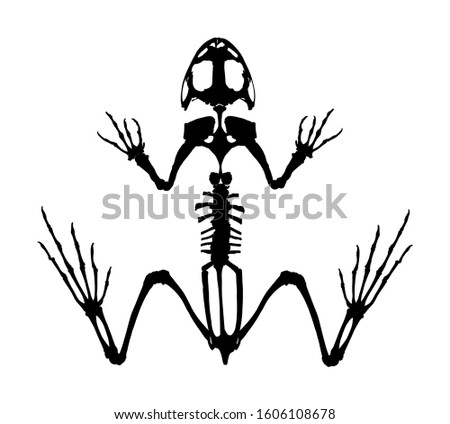 Frog skeleton vector silhouette isolated on white background. Animals anatomy. zoology, anatomy of amphibian. Education archaeology. Frog body parts, toad skeleton structure. stock photo