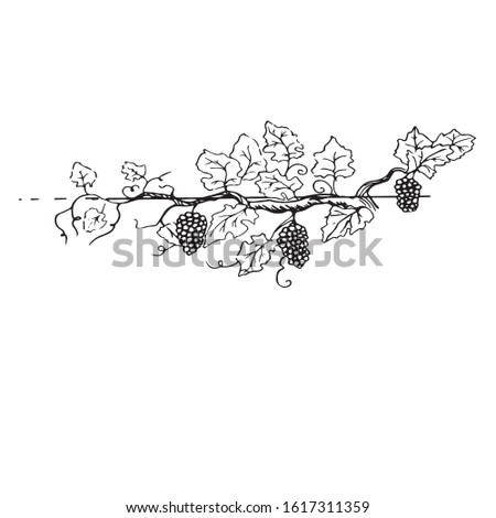 fruitful grape branch with beautiful bunches of sketch