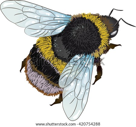 Furry Bumblebee Isolated On White Vector Illustration Eps 10