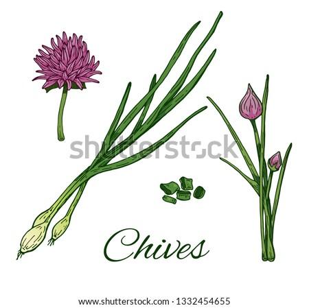 garlic chives hand drawn