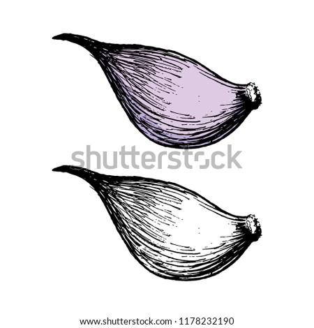 Garlic. Hand-drawn illustration converted to vectors. Pastel effect coloring. Colors are ready to change. eps10