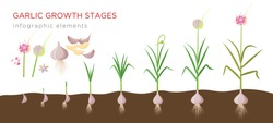 Garlic plant growign stages from deeds, garlic sets to ripe garlic - set of botanical detailed infographic elements vector illustrations isolated on white background.