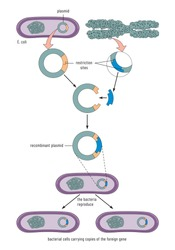 Gene cloning by bacteria - The formation of an endospore