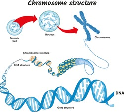 Genome in the structure of DNA. genome sequence. Telo mere is a repeating sequence of double-stranded DNA located at the ends of chromosomes Nucleotide, Phosphate, Sugar, and bases. education vector