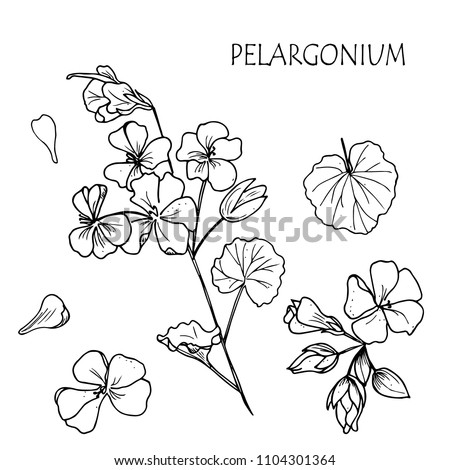 geranium vector drawing set. Isolated hand drawn objects with flower buds and leaf. Botanical lineart  style illustration. Detailed floral sketch.