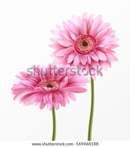 Gerbera Flower Isolated on White Background. Vector Illustration EPS10
