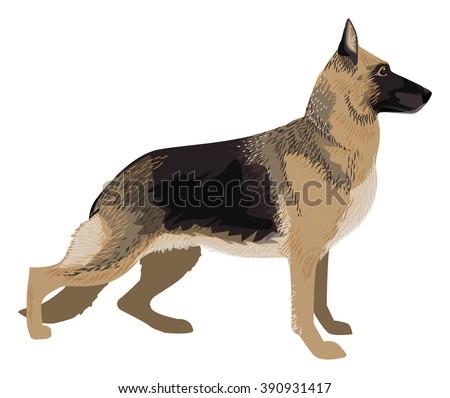 german shepard dog breed  drawn