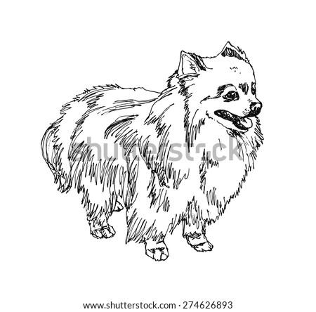 german spitz pomeranian dog