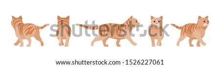 ginger tabby cat walking