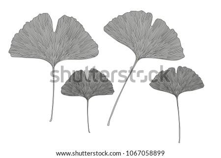 Ginkgo leaves. Vector illustration
