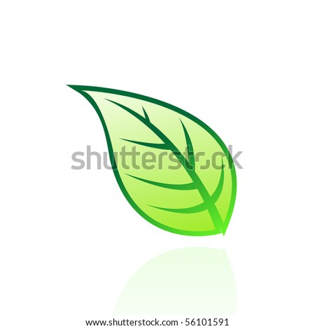 Glossy green leaf isolated on white