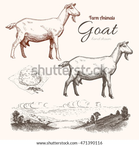 goat. animal husbandry. goat ...
