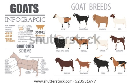 Goat breeds infographic template. Animal farming. Flat design. Vector illustration